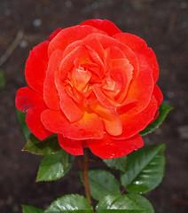 2017_09_0016 (petermit2) Tags: lockepark josephlocke barnsley southyorkshire yorkshire rose