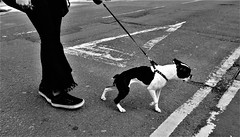 walkies #2 (LozHudson) Tags: blackwhite monochrome dog walk road street streetphotography manchester fuji x100s fujifilm