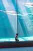 4Y4A0790 (francois f swanepoel) Tags: carcharodoncarcharias akwarium aquarium bigwhite capetown greatwhiteshark grootwithaai haai inquisitive kaapstad museum nuuskierig shark waterfront weskaap westerncape marine conservation