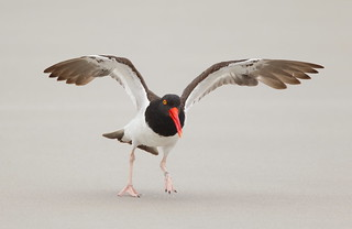 American Oystercatcher Nickerson beach ny.