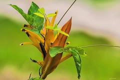 UN FIORE NELLA FORESTA.   ----    A FLPWER IN THE FOREST (Ezio Donati is ) Tags: fiori flower colori colors foresta forest natura nature macro africa costadavorioareabini