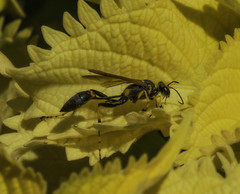 Wasp_SAF3742 (sara97) Tags: copyright©2017saraannefinke insect missouri nature outdoors photobysaraannefinke saintlouis towergrovepark wasp