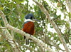 Ringed Kingfisher (helmutnc) Tags: hennysanimals hg specanimal sweetfreedom