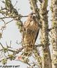 Red-tailed Hawk (orencobirder) Tags: birds largebirds hawks flickrexport