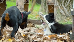 Pup Fight (zola.kovacsh) Tags: outdoor animal pet dog school pup puppy dobermann doberman pinscher border collie