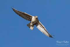 Fabulous Ferruginous Hawk performs a flyby