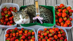silly little candy (ChicqueeCat) Tags: cat animal pet strawberries nikon d3300 food