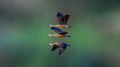 The pack...of colours! (chandra.nitin) Tags: animal bif bird birds ducks lesserwhistlingduck nature bharatpur rajasthan india
