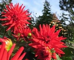 Dahlien blühen noch (ekeha) Tags: 171013 dahlien rot
