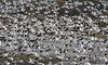Snow geese invasion - Fall 2016 (Natimages) Tags: snowgeese geese invasion birds birding largeflock migration migratorybirds fallmigration wildbird wildlife nature