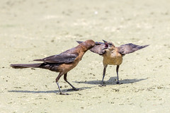 Open Wide! (Linda Martin Photography) Tags: delraybeach brownheadedcowbird usa nature wetlands molothrusater greencay florida coth naturethroughthelens specanimal ngc coth5 npc