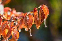 Icy Autumn (mclcbooks) Tags: leaves leaf icicles fall autumn macro closeup denverbotanicgardens colorado