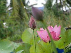Sacred Lotus 'Chinese Red Xibeipo' Wahgarden Klong15 007 (Klong15 Waterlily) Tags: chinared lotus lotusflower flower sacredlotus thailotus nelumbo nelumbonucifera pond