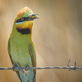lagoon creek - rainbow bee eater