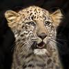Precious Charlie (Penny Hyde) Tags: amurleopard babyanimal bigcat cub leopard sandiegozoo