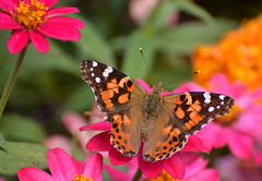 Painted Lady Butterfly (thoeflich) Tags: paintedlady paintedladybutterfly butterfly fall