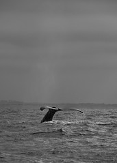 (The Funky Munky) Tags: montereybay monterey humpbackwhale humpback whale whalewatching pacific california nikond7000 d7000 nikon