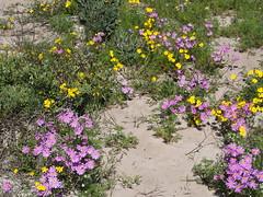 P9160054 West Coast National Park Flowers (Joanna P Dale) Tags: westcoastnationalpark flowers southafrica omdem1 mk1 olympus 35mmzuiko 35mmmacro