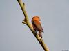 Parrot Crossbill (Corine Bliek) Tags: loxiapytyopsittacus bird birds vogel vogels nature natuur wildlife migratory migrant trekvogels doortrekker rare rarity zeldzaam dunes duinen