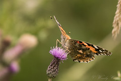 Painted Lady-4720 (WendyCoops224) Tags: 100400mml 80d canon eos localbirdswlldlife minibeasts ©wendycooper painted lady