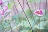 Cezanne's walk. Through the anemone forest. (Gudzwi) Tags: hbw anemone garden garten pastell pastel soft pink green grün blume flower flora 7dwffridaysflora 7dwf bokeh macro blur unschärfe anemonehupehensis herbstanemonen chineseanemone natur nature pflanze plant