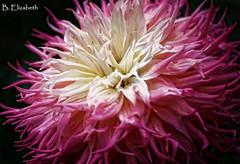 Pink Dahlia (Barbara.Elizabeth) Tags: canon80d closeup soft texture blur beauty daylight gardens dahlia flower color summer