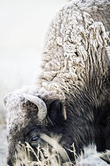 First Frost...{Explored} (DTT67) Tags: bison mammal animals nature nationalgeographic wildlife autmumn frost texture fur buffalo canon 1dxmkii 500mm
