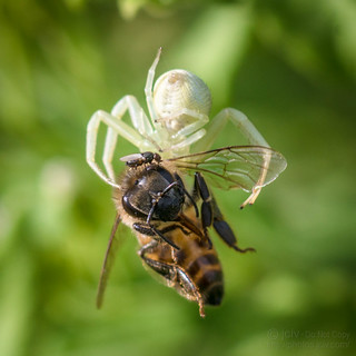 Crab Spider and Kleptoparasite Fly Eating a Bee