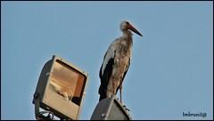 controllore (imma.brunetti) Tags: cicogna piume ali becco lampione zampe animali