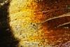 Paon du jour aile (megasharkodon) Tags: canon cognisys 5dmarkiv papillon paon du jour aglais io focusstacking zerenestacker helicon focus ext 14 macro mpe macrophtographie