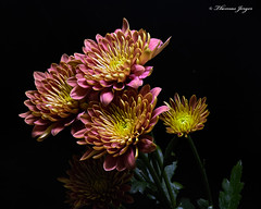 Autumn Display 1016 Copyrighted (Tjerger) Tags: nature autumn beautiful beauty black blackbackground bloom blooming blooms bunch closeup display fall flora floral flower flowers green group macro mum pink plant portrait wisconsin yellow mums ivory natural