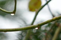 P1050866 (harryboschlondon) Tags: october2017 autumn england plants trees flowers water waterdroplet botanical naturephotography nature englandphotography harrybosch harryboschphotography harryboschflickr