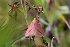 Pink moth (STE) Tags: moth falena macro tamron90 rhodometra sacraria rosa pink