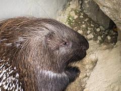 20171025-491 (haraldklein2201) Tags: animal neuwied portanigra stachelschwein tier zoo porcupine