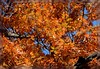 (/) Flamboyant Autumn Foliage - III. (\) (Wolverine09J ~ 1 Million + Views) Tags: midnightandautumnparkway17 redoak foliage autumncolor peak nature minnesota vivid bluesky frameit~level01 betterthangood batslair allthatsbeautiful