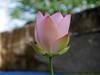 Nelumbo nucifera 'Boli Gongzhu' Lotus Wahgarden Thailand 6 (Klong15 Waterlily) Tags: nelumbo nelumbonucifera lotus thaillotus chainalotus pinklotus pond lanscap flower lotusflower