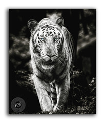 Photography is about capturing souls...not smiles! (FotographyKS!) Tags: whitetiger tiger wild asian cat forest indian outdoor park power beast roar roaring predator anger stripe zoo wildlife tropical aggression killer hunter dangerous beautiful nature environment animal jungle growls bright paws teeth bengaltiger mammal undomesticatedcat horizontal fur majestic closeup portrait animalshunting animalsinthewild mouth femaleanimal whisker looking maleanimal head