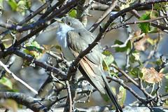 Yellow-billed Cuckoo (smkeereweer) Tags: yellowbilledcuckoo coccyzusamericanus novascotia canada gravesisland