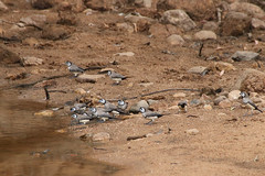 Thirsty Double-barreds (aussiegypsy_Katherine, NT) Tags: doublebarred finch taeniopygiabichenovii common endemic owlfaced small tiny brown grey white black tail raceannulosa grassland water drink drinking group flock bird birdlife wild wildlife nature outdoors thirsty aussiegypsy australia australian aussie katherine nt northernterritory topend remote isolated river ferguson eastern heat hot extremeweather birdwatch event national watching birdcount