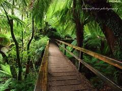 Maits-Rest-Rainforest-Trail (natureflower) Tags: rainforest maitsrest otway nationalpark trail green fern beechtree lichen greatoceanroad victoria australia
