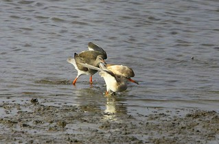 Fighting Redshanks