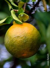 Segunda-light (sonia furtado) Tags: segundalight light fruta nopé laranja mexerica soniafurtado