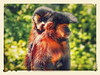 Fêmea com infante (macaco-prego, Sapajus nigritus) (marianaplorenzo) Tags: adultfemale animais behavior blackhornedcapuchinmonkey capuchinmonkey carregando carrying cebidae cebusapella comportamento infant infante mãe mother mothercare sapajus sapajusnigritus
