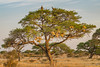 Vultures and weaver bird nests (NettyA) Tags: 2017 africa africanwhitebackedvulture botswana gypsafricanus makgadikgadibasin ntwetwepan bird criticallyendangered nest saltpan tree weaverbirdnests whitebackedvulture