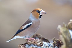 Hawfinch (Andrej Chudy) Tags: bird birding birdwatching europe canon wild wildlife animal nature outdoor winter fullframe tree wood 1dx canon1dx canon600mmf4isusm brown background
