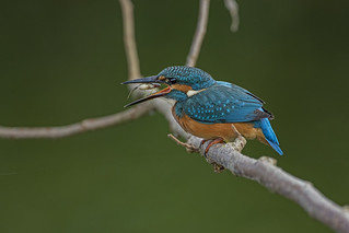 Kingfisher - Down the hatch
