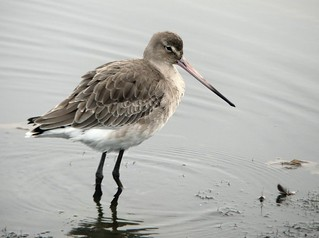 Black-tailed Godwit 2.11