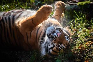 roulé tigré