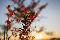 Fire Light (Clayton Perry Photoworks) Tags: vancouver bc canada richmond steveston fall autumn explorebc explorecanada sunset tree