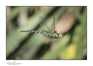 Dragonfly in flight - one from the Summer